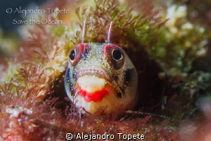 Blenny in home, Acapulco Mexico by Alejandro Topete 